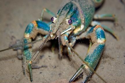 Freshwater Blueclaw Crayfish (Cherax quadricarinatus)